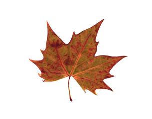 autumn dry leaf of red oak tree
