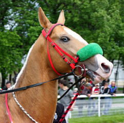 Akhal-teke horse.