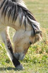 cheval henson au pré
