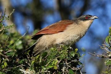 Burchell's Coucal Bird