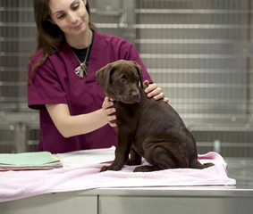 labrador puppy at the vet's