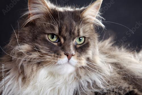 Hübsche Mainecoon Katze close up