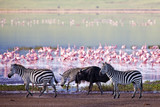 Fototapety Zebras and a wildebeest in the Ngorongoro Crater, Tanzania