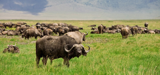 African Buffalo herd in the Ngorongoro Crater, Tanzania