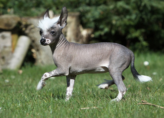 chinese crested dog de profil