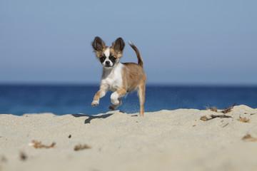 chihuahua joyeux bondissant sur la plage