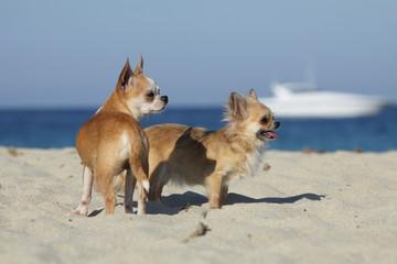 deux chiens de race chihuahua sur le rivage
