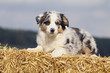 chiot blue merle berger australien allongé