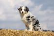 jeune berger australien de profil