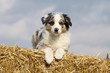 young australian shepherd dog