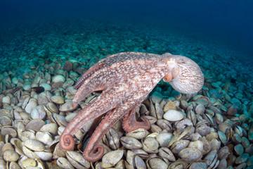 Giant octopus Dofleini in bivalve mollusks graveyard