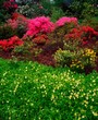 Rhododendrons & Limnanthes, Ardcarrig, Co Galway, Ireland