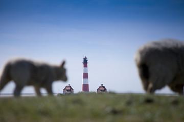 Schafe auf dem Deich vor dem Leuchtturm in Westerhever