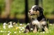 Hundewelpe auf Blumenwiese