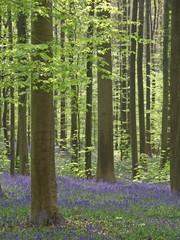 blauer blüttenteppich im wald (hasenglöckchen)11