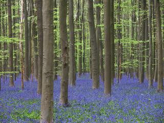 blauer blüttenteppich im wald (hasenglöckchen)5