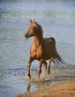 Arab horse near blue water