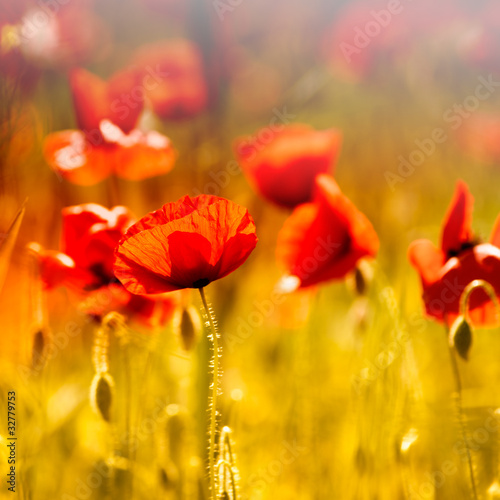 Field of beautiful red poppies © B. and E. Dudziński