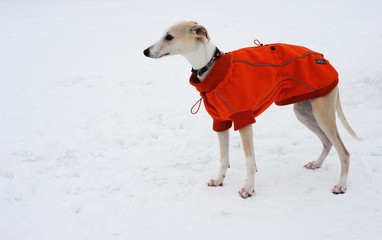 Whippet with red Jacket on the snow