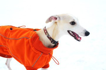Whippet winter on the snow. With red Jacket