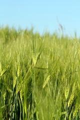 Unreife Getreideähren