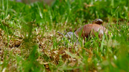 snail crawling on the grass with baby snail on the carapace