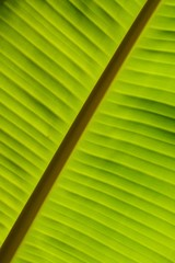 Close up of Banana Leaf texture