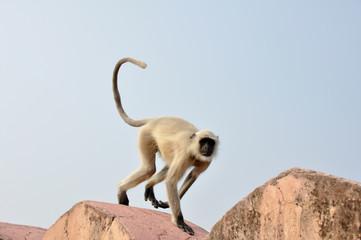 Mono saltando en la muralla de fuerte de Amber