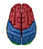 Superior view of the Brain poster