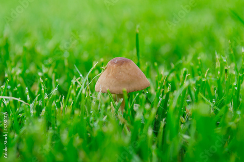 Mushroom on a green grass