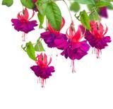 Fototapety Fuchsia flowers