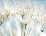 Fototapety Abstract dandelion flower background