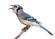 bluejay swallows a whole nut in one gulp