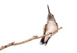 hummingbird relieves itself from an itch