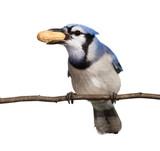 bluejay displays his tasty peanut treat