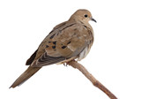 turtledove fluffs its feathers to keep warm