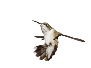 hummingbird falls backwards with is wings spread open