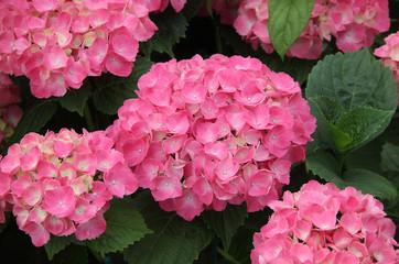 Ortensia fiore rosa