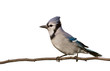 bluejay poses with is head crown opened