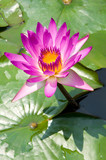 Mauve lotus flower