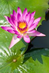 Mauve lotus flower