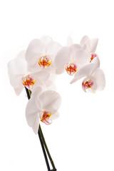 White orchid (Phalaenopsis) flowers, isolated, white background