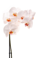 White orchid (Phalaenopsis) flowers, isolated, white background
