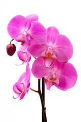 Pink orchid (Phalaenopsis) flowers, isolated, white background
