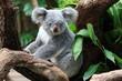 obraz - Koala