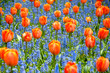 Orage tulips against blue grape hyacinth