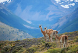 Three guanacoes in Torres del Paine national park