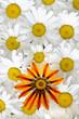 Detaily fotografie gazánie a daisy vzorek