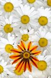 gazánie a daisy vzorek