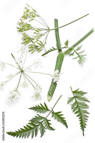 wiesen kerbel anthriscus sylvestris details der pflanze stockfotos und lizenzfreie bilder. Black Bedroom Furniture Sets. Home Design Ideas